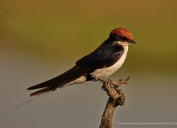 wire-tailed-swallow-4562-botswana-copyright-photographers-on-safari