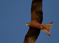yellow-billed-kite-4546-botswana-copyright-photographers-on-safari
