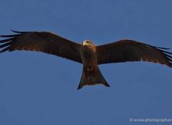 yellow-billed-kite-4548-botswana-copyright-photographers-on-safari