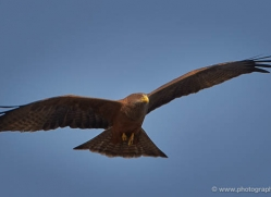 yellow-billed-kite-4549-botswana-copyright-photographers-on-safari
