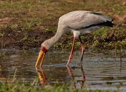 yellow-billed-stork-4571-botswana-copyright-photographers-on-safari