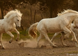camargue-horses-extension-copyright-photographers-on-safari-com-9341