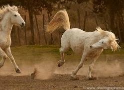 camargue-horses-extension-copyright-photographers-on-safari-com-9342