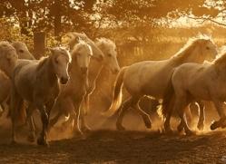 camargue-horses-extension-copyright-photographers-on-safari-com-9345