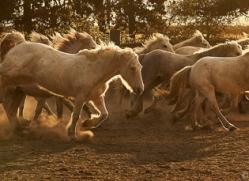 camargue-horses-extension-copyright-photographers-on-safari-com-9348