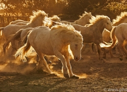camargue-horses-extension-copyright-photographers-on-safari-com-9349