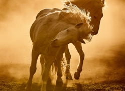 camargue-horses-extension-copyright-photographers-on-safari-com-9350