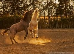 camargue-horses-extension-copyright-photographers-on-safari-com-9354
