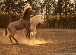 camargue-horses-extension-copyright-photographers-on-safari-com-9355