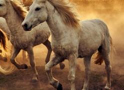 camargue-horses-extension-copyright-photographers-on-safari-com-9357