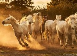 camargue-horses-extension-copyright-photographers-on-safari-com-9358