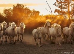 camargue-horses-extension-copyright-photographers-on-safari-com-9359