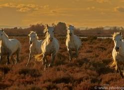 camargue-horses-extension-copyright-photographers-on-safari-com-9374