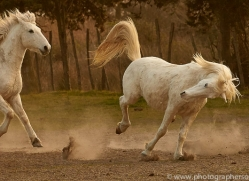 camargue-horses-extension-copyright-photographers-on-safari-com-9342