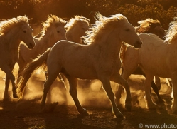 camargue-horses-extension-copyright-photographers-on-safari-com-9343