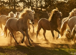 camargue-horses-extension-copyright-photographers-on-safari-com-9344