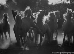 camargue-horses-extension-copyright-photographers-on-safari-com-9347