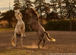 camargue-horses-extension-copyright-photographers-on-safari-com-9353