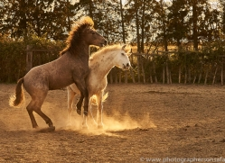 camargue-horses-extension-copyright-photographers-on-safari-com-9355