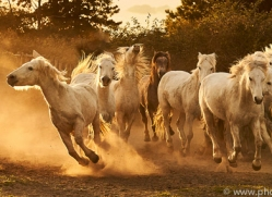 camargue-horses-extension-copyright-photographers-on-safari-com-9358