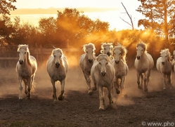 camargue-horses-extension-copyright-photographers-on-safari-com-9360