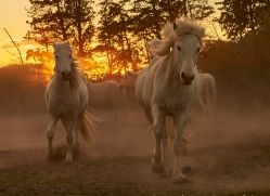 camargue-horses-extension-copyright-photographers-on-safari-com-9363