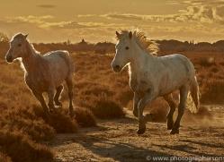 camargue-horses-extension-copyright-photographers-on-safari-com-9375