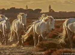 camargue-horses-extension-copyright-photographers-on-safari-com-9376