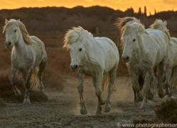 camargue-horses-extension-copyright-photographers-on-safari-com-9377