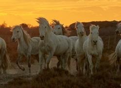 camargue-horses-extension-copyright-photographers-on-safari-com-9378