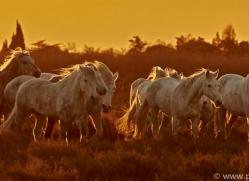 camargue-horses-extension-copyright-photographers-on-safari-com-9380
