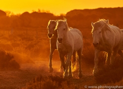 camargue-horses-extension-copyright-photographers-on-safari-com-9381