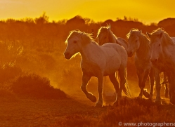 camargue-horses-extension-copyright-photographers-on-safari-com-9382