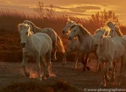 camargue-horses-extension-copyright-photographers-on-safari-com-9384