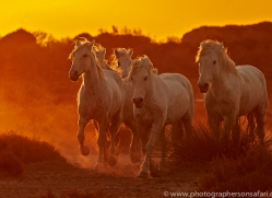 camargue-horses-extension-copyright-photographers-on-safari-com-9385