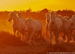 camargue-horses-extension-copyright-photographers-on-safari-com-9386