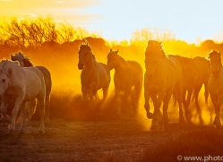camargue-horses-extension-copyright-photographers-on-safari-com-9387