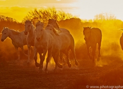 camargue-horses-extension-copyright-photographers-on-safari-com-9388