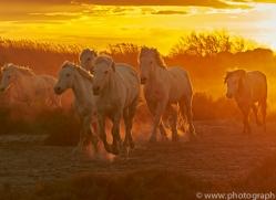 camargue-horses-extension-copyright-photographers-on-safari-com-9389