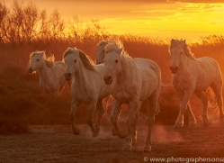 camargue-horses-extension-copyright-photographers-on-safari-com-9390