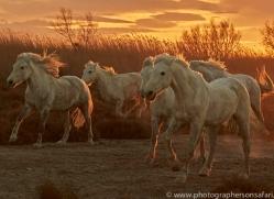 camargue-horses-extension-copyright-photographers-on-safari-com-9391