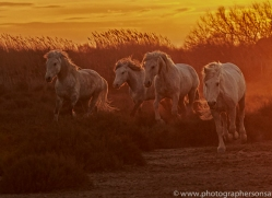 camargue-horses-extension-copyright-photographers-on-safari-com-9392