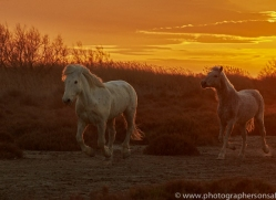 camargue-horses-extension-copyright-photographers-on-safari-com-9393