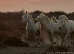 camargue-horses-extension-copyright-photographers-on-safari-com-9394