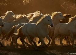 camargue-horses-extension-copyright-photographers-on-safari-com-9408