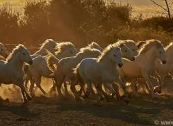 camargue-horses-extension-copyright-photographers-on-safari-com-9409