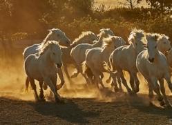 camargue-horses-extension-copyright-photographers-on-safari-com-9410