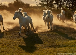 camargue-horses-extension-copyright-photographers-on-safari-com-9411