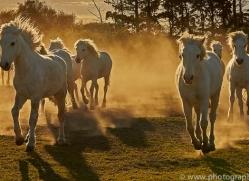 camargue-horses-extension-copyright-photographers-on-safari-com-9412