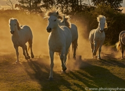 camargue-horses-extension-copyright-photographers-on-safari-com-9413